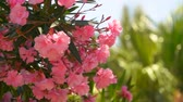 Blooming shrub of pink oleander grows against the bright sunny sky