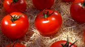 mouillé : Ripe juicy red tomatoes lie in a wooden box in the garden. Panoramic camera movement. Summer sunny day