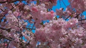 japonês : Bumblebee flies next to the flowers of a cherry tree on a sunny day. Warm weather with blue sky. Slow motion close-up Vídeos