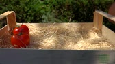 mouillé : Female hand puts ripe juicy red tomatoes in a wooden box on a sunny day. Harvesting