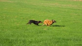 sheepdog : Beautiful purebred Doberman and Belgian Shepherd run on a green field. Stock Footage