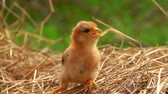 Little ginger chick sits on the straw and looks around