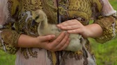 volaille : Little duckling sits on the hands of a farmer on a background of haystacks. Close-up of hands stroking a duckling Vidéos Libres De Droits