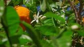 bosquet : Orange flower and ripe orange on a branch of an orange tree close-up