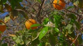 bosquet : Branch with flowers and orange ovaries on the background of ripe oranges on a tree branch close-up Vidéos Libres De Droits