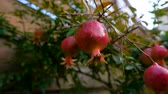 dessin jardin : Small pomegranate fruits on the background of a wooden fence Vidéos Libres De Droits