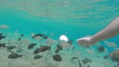 aquático : School of tropical fish Rusty Parrotfish swim near the coral reef