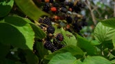 deserto : Bush branches is juicy ripe blackberry. Ripe blackberry hang on branches in the rain