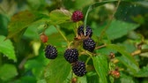 deserto : Drops of rain dripping on ripe blackberry berries on a branch bush, in time the summer rain Filmati Stock