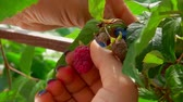 mand : Close-up of female hands picking ripe red raspberries from a bush Stockvideo