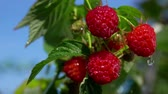 mand : Drops of summer rain fall on ripe red raspberries on a branch in slow motion Stockvideo