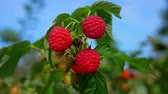 mand : Panorama of a branch with delicious ripe red raspberries on a clear blue sky