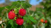 křoví : Drops of heavy summer rain fall on a branch with red ripe raspberries in slow motion
