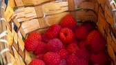 mand : Womans hand puts juicy raspberries in a basket with berries. Summer Harvest