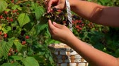 deserto : Female hand plucking juicy ripe blackberry from a bush branches in a basket of birch bark Close-up Filmati Stock