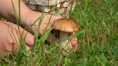 mushroom growing : Hand with a knife cut mushrooms in the grass. Stock Footage