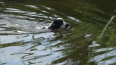 epagneul : Black and white English cocker spaniel swim in a pond on a sunny day