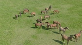 biodiverzitás : Herd of young horses is grazed on a green meadow. View from the drone