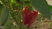 ringen : Female hand picks ripe red pepper from a bush in the greenhouse Stockvideo