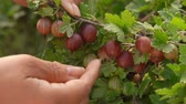 продукты питания : Female hand picks ripe large juicy ripe gooseberries from the branches on sunny summer day