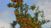 picada : Panorama of apricot tree on the background of a clear blue sky Stock Footage