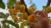 picada : Female hands pick ripe apricots from apricot tree branches