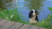 cão de caça : Black and White English Cocker Spaniel sits in the water and shakes his head