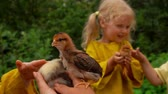 humor : Cute blond girl is watching a fight between a duckling and a chicken