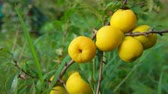 saft : Panorama of ripe yellow quince fruits on a bush on a bright sunny day Stock Footage