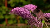borboletas : Close-up of a peacock butterfly sits on a pink Buddleja flower Stock Footage