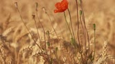 narkotik : Poppy flower with seed boxes growing among ripe golden wheat