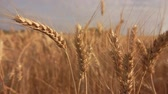 rozs : Close-up of beautiful ripe yellow wheat swaying in the wind in a wide field Stock mozgókép