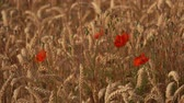 narkotik : Field of ripe wheat with poppy flowers. Bee collect nectar and pollen from poppy flowers
