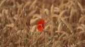 narkotik : Field of ripe wheat with poppy flowers sways in the wind