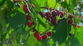 Drops of summer rain dripping on a branch with ripe juicy cherries on a clear sunny day Filmati Stock