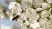 Close-up of a bee collecting pollen from blooming cherry flowers on a bright sunny day