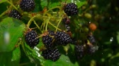 Drops of rain dripping on ripe blackberry berries on a branch bush, in time the summer rain Filmati Stock