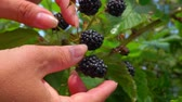 Blackberry harvest in the garden on a summer sunny day. Bush branches is juicy ripe blackberry.