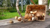 jedlý : Delicious freshly picked boletus mushrooms fall from a birch basket on a wooden table and roll on camera