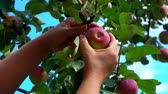 木箱 : Close-up of a Hand picks a ripe big apple from a tree branch in the garden 動画素材