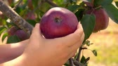 木箱 : Close-up of a Hand picks a ripe big red apple from a tree branch in the garden 動画素材