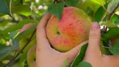 木箱 : Female hand picks a ripe big apple from a tree branch in the garden