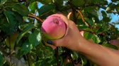 木箱 : Close-up of a female hand ripping a ripe big red-green apple from a tree branch in an orchard
