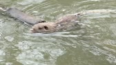 mouse : muskrat floating on the lake