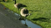 beira da estrada : geese drink from puddles by a road Stock Footage