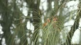 jehly : dew collects on the ends of pine needles