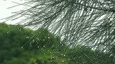 borovice : dew clings to the ends of pine needles