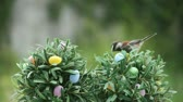 animal egg : a chickadee looks for food on miniature trees decorated with Easter eggs Stock Footage