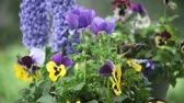 viselkedés : chickadees find food in a pot of pansies and other spring flowers