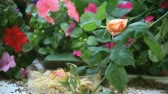 viselkedés : a Bewicks wren with roses and impatiens